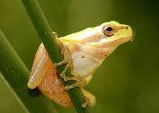 komarnicy żaby usta stripeless drzewo Obrazy Royalty Free
