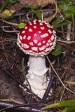 Komarnicy bedłka, Amanita muscaria jadowity grzyb z czerwoną nakrętką w lasowej makro-, selekcyjnej ostrości, płytki DOF zdjęcia royalty free