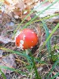 Komarnicy bedłka, jadowity grzyb z czerwoną nakrętką w lesie, płytki DOF zdjęcie stock