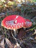 Komarnicy bedłka, jadowity grzyb z czerwoną nakrętką w lesie, płytki DOF obraz royalty free