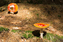 Komarnicy bedłka - czerwieni pieczarka w lesie Obraz Royalty Free