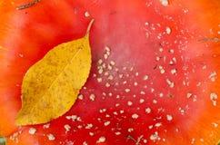 Komarnicy bedłki czerwieni musroom Zdjęcie Stock