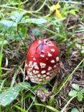 Komarnicy czerwona bedłka, Amanita muscaria zdjęcia royalty free