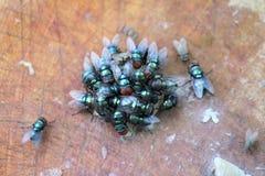Komarnicy jedzą ludzkich gruzy zdjęcie royalty free