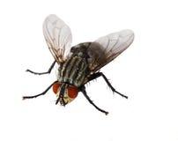 komarnicy przyglądająca się czerwień Obraz Royalty Free