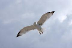 komarnicy seagull Fotografia Royalty Free