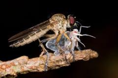 komarnicy skakacza rośliny zdobycza rabuś Obrazy Royalty Free
