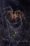 komarnicy tulejowa pająka sieć obraz stock