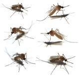 komary 6 Obrazy Royalty Free
