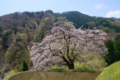 Komatsunagi kein Sakura Stockbilder