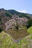 Komatsunagi kein Sakura Lizenzfreie Stockfotos
