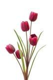 Komediancki tulipan fotografia stock