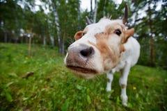 Komiczna i ciekawa krowa rozciąga jej głowę kamera obiektyw Zdjęcie Royalty Free
