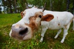 Komiczna i ciekawa krowa rozciąga jej głowę kamera obiektyw Obrazy Stock