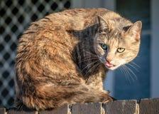 Komischer lustiger Grey Ginger Tabby Cat Sticking ihre Zunge heraus Stockbild