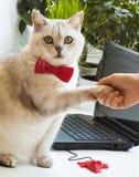 Komisches Porträt der intelligenten erfolgreichen Katze schließt einen Vertrag durch Händedruck nahe mit einem Laptop Stockbild