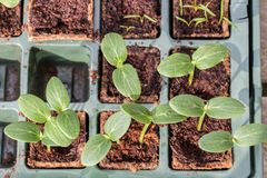 Komkommer cucumber plants in a breeding tray. Young Komkommer or cucumber plants in a breeding tray stock image
