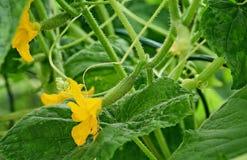 Komkommer en bloem Royalty-vrije Stock Afbeelding