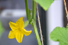 Komkommer groene installatie Stock Foto's