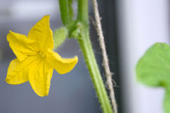 Komkommer groene installatie Royalty-vrije Stock Foto