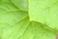 Komkommer groene installatie Stock Fotografie