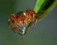 Komkommer groene spin, Araniella-displicatamannetje stock afbeeldingen