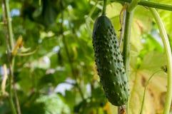 Komkommer het groeien in de tuin Royalty-vrije Stock Fotografie