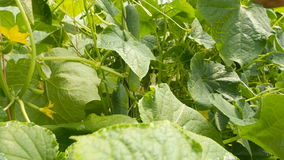 Komkommer het groeien en de oogst stock footage