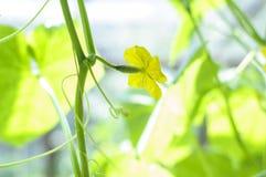 Komkommer het groeien in tuin Bloemen en bladeren Stock Fotografie