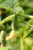 Komkommer. Moestuin. Royalty-vrije Stock Foto's