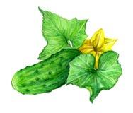 Komkommer, tekening, beeld, kleur Stock Fotografie