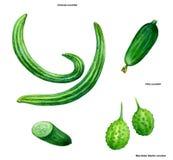 Komkommer, tekening, beeld, kleur Royalty-vrije Stock Fotografie