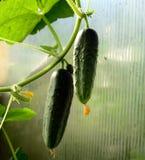 Komkommer twee groeit op een tak Stock Fotografie