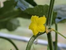 Komkommerbloem Close-up Groeit in de serre stock afbeeldingen