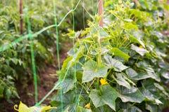 Komkommerbloemen, kruipende wijnstokken en bladeren Stock Foto