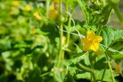 Komkommerbloesem op een tuinlatwerk met ondiepe velddiepte royalty-vrije stock foto's