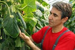 Komkommerproductie in Serre Stock Fotografie