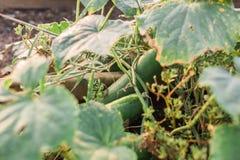 komkommers Royalty-vrije Stock Foto