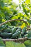 Komkommers in de mand op de aardachtergrond Stock Afbeelding