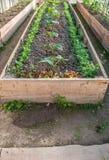 Komkommers in de tuin Royalty-vrije Stock Afbeelding
