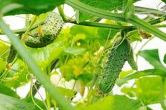 Komkommers die in een serre groeien Royalty-vrije Stock Afbeeldingen
