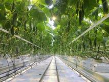 Komkommers die in een serre voor hydrocultuur groeien Royalty-vrije Stock Foto's