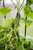 Komkommers in een serre Royalty-vrije Stock Afbeeldingen