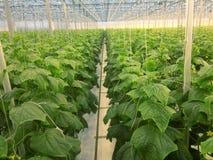 Komkommers het groeien Stock Afbeelding