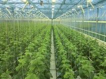 Komkommers het groeien Royalty-vrije Stock Foto