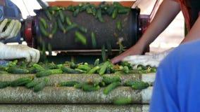Komkommers in productie stock video