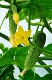 Komkommers van serre Royalty-vrije Stock Foto