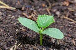 Komkommerzaailingen in de lente in de tuin royalty-vrije stock afbeelding