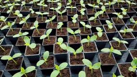 Komkommerzaailingen in een serre Het kweken van zaailingen in de serre stock footage