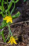 Komkommerzaailingen met jonge vruchten in de lente in de tuin royalty-vrije stock afbeelding